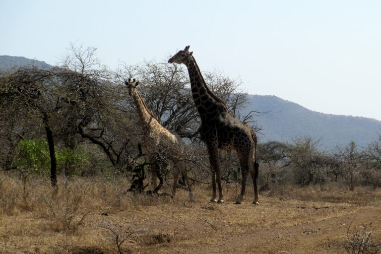 Dark Giraffe