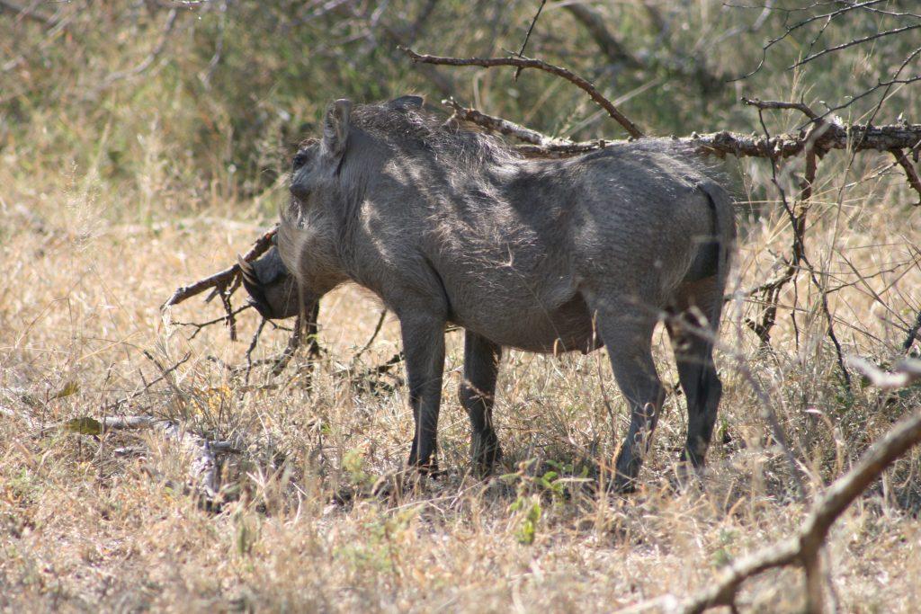 Warthog 6